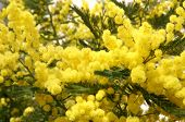 Branches And Flowers Of Fragrant Yellow Mimosa And The Symbol Of The Celebration Of Women