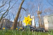 Spring In Cologne With Daff