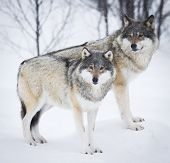 pic of wolf-dog  - Wolf in a norwegian winter forest - JPG