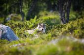 stock photo of white wolf  - One wolf laying and rests in a norwegian summer forest - JPG