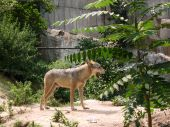 Wolf in a zoo after a dinner