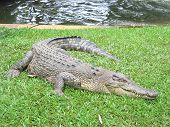Saltwater Crocodile 12
