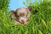 Five weeks old chihuahua puppy in high grass