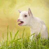 Newborn white baby milk goat bleating loudly