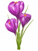 Crocuses. Beautiful spring flowers, isolated on white background. Vector illustration.