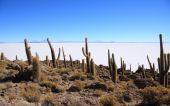 Cacti On The Isla Del Pescado