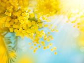 Mimosa Spring Flowers Easter background. Blooming mimosa tree over blue sky.