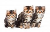 Three Little Kittens isolated on white background
