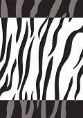 Постер, плакат: Тигр кожи фон