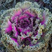 stock photo of water cabbage  - Ornamental cabbage and Purple cabbage crops at field