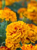 Yellow Marigold Flowers Close Up