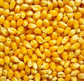 Dried corn kernels, or unpopped popcorn kernels