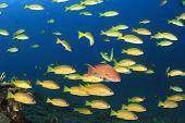 Shoal Yellow Snappers Fish in Ocean