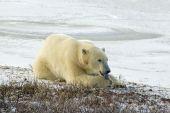 Polar Bear Licking His Paw In Arctic