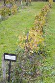 vineyard, Rheinhessische Pfahler - ziehung mit einem Bogen, Eberbach, Hessen, Germany