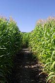 Inside A Corn Maze