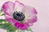 Closeup Of Anemone Flower1