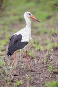 Great White Stork Walking In Short Grass Hunting For Food