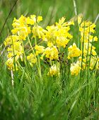 stock photo of cowslip  - Wild spring cowslip flowers on a green meadow - JPG