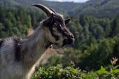 Goat In The Mountains