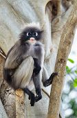 Dusky Leaf Monkey Or Trachypithecus Obscurus On Tree