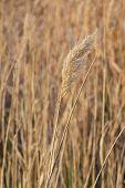 Evening Wheat