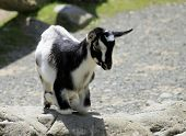 Kneeling Black & White Kid Goat