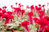 image of celosia  - Red Celosia or Wool flowers or Cockscomb flower in the garden or nature park - JPG