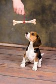 Seven weeks old cute little beagle puppy receives a bone as a present