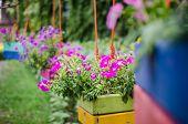 image of petunia  - Petunia or Petunia Hybrida Vilm in the garden or nature park - JPG