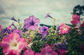 stock photo of petunia  - Petunia or Petunia Hybrida Vilm in the garden or nature park vintage  - JPG