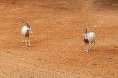Thomson's Gazelle Standing