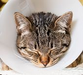 Portrait Of An Anesthetized Cat  With An Elizabethan Collar