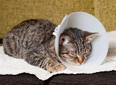 picture of castrated  - Sleeping cat with an Elizabethan collar inside home - JPG