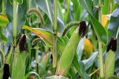 foto of corn-silk  - Close up of corn field - JPG