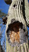 Tall Saguaro Cactus With Blue Sky As Background