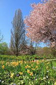 Scenic Springtime Landscape With Flourishing Cherry Tree And Narcissus Flowerbed
