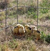 Newborn Chicks 2