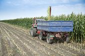 Harvesting silage corn maize green stems