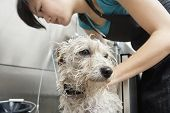 Close-up of Terrier dog being washed by a female groomer