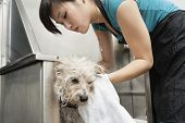 Woman pet groomer drying dog with towel