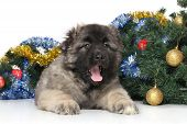 Central Asian Shepherd Puppy