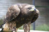 Eagle Hawk - Close Up Portrait