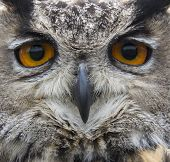 Close Up Of Hawk Owl Face