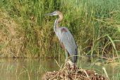 stock photo of ethiopia  - Goliath Heron - JPG