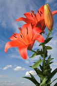 Lily On Blue Sky