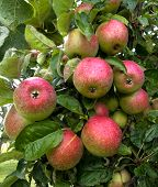 Several green and red apples on the tree
