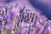Lavender on field