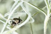 Jumping Spider Hiding In Aerial Roots Of Spanish Moss