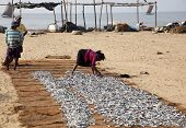 NEGOMBO, SRI LANKA - DECEMBER 31: A woman sorting out fish for drying on the beach in Negombo, Sri Lanka on the 31 December, 2014.